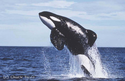 Keiko's Legacy: What We Learned From the True Story of Free Willy Charles Vinick