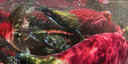 Earth Day Salmon Fest