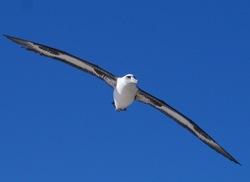 Ecology and Conservation of Pacific Albatrosses; a Scientist's and Artist's Pers