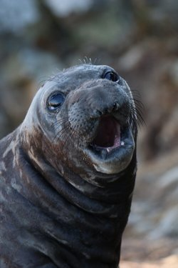 Northern Elephant Seals (Mirounga Angustirostris) of Point Reyes National Seasho